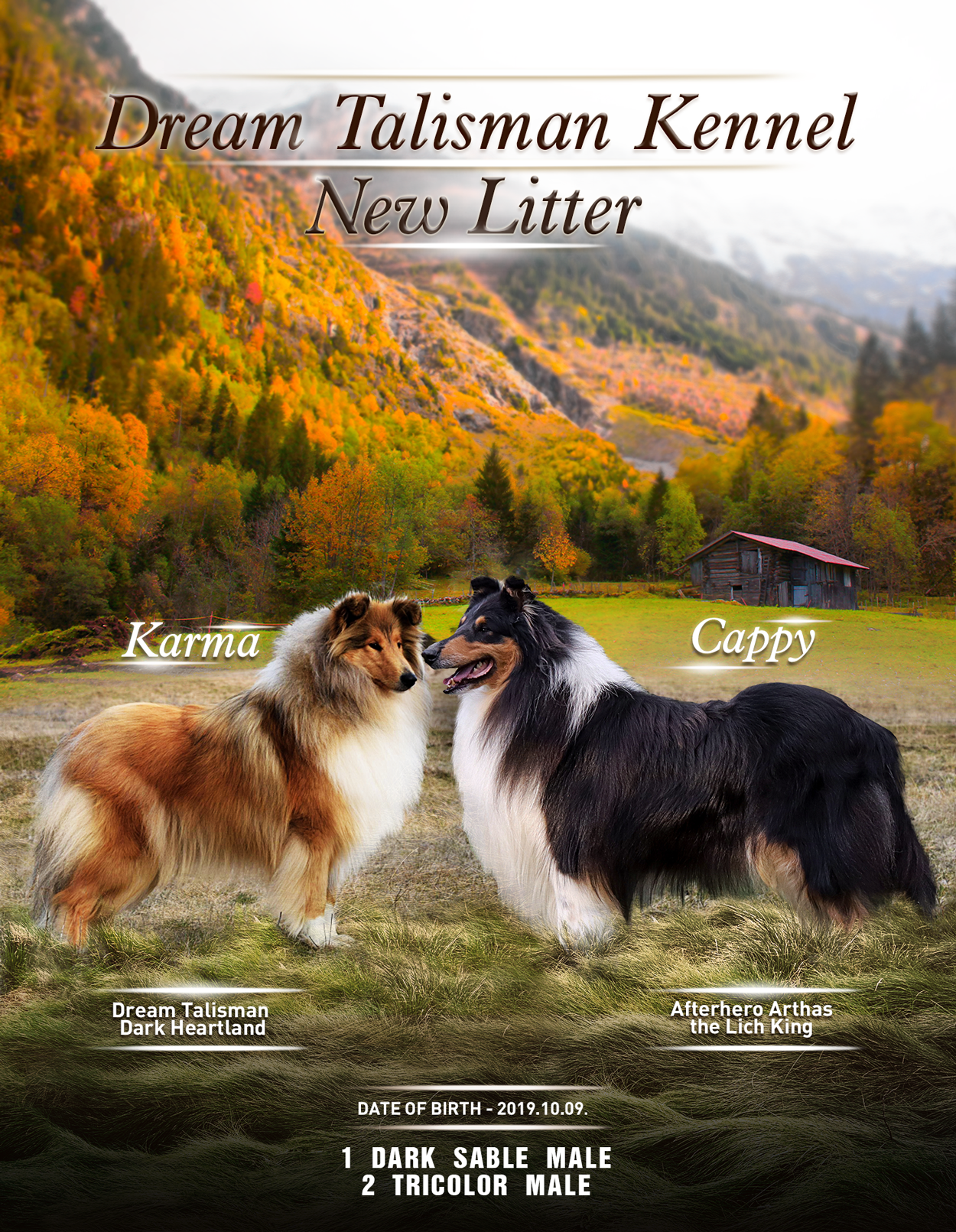 Dream Talisman Collies 3. litter